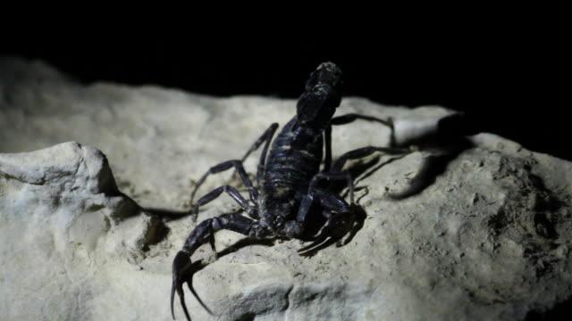 Arabian fat-tailed scorpion (Androctonus crassicauda) in flashlight