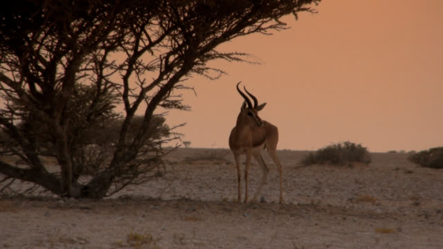 arabian gazelle in the desert, oman - persian gulf countries stock videos & royalty-free footage
