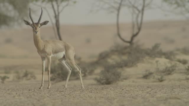 vidéos et rushes de arabian mountain gazelle (gazella gazella cora) alarm calls and runs away in desert, uae - évasion