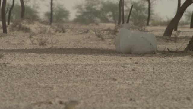 arabian oryx (oryx leucoryx) and spiny tailed lizard (uromastyx aegyptia) rest in desert, uae - 尖っている点の映像素材/bロール