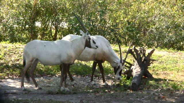 orice araba antilopi - erbivoro video stock e b–roll