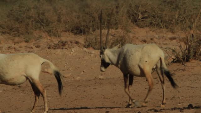 vídeos y material grabado en eventos de stock de arabian oryx (oryx leucoryx) herd with youngs walking in desert - grupo mediano de animales