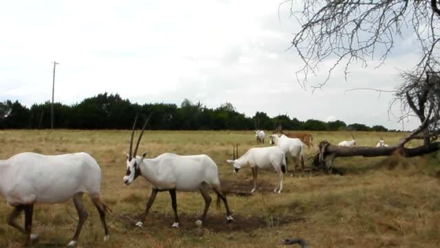 vídeos de stock, filmes e b-roll de oryx da arábia - grupo mediano de animales