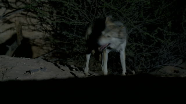 vídeos de stock, filmes e b-roll de arabian wolf feeding on a carcass at night, in the negev desert, rift valley- israel - família do cão