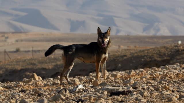Arabian Wolf , (Canis lupus arabs) , feeding on carcass in the desert