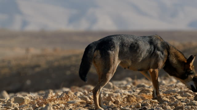 arabian wolf , (canis lupus arabs) , feeding on carcass in the desert - gruppo di animali video stock e b–roll