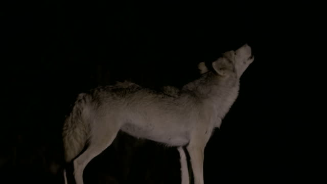 Arabian wolf howling at night in the Negev desert, Rift Valley- Israel