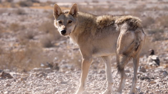 arabian wolf looking towards camera, (canis lupus arabs) , feeding on carcass in the desert - israel stock videos & royalty-free footage