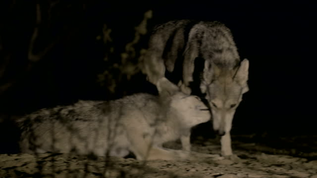 vídeos de stock, filmes e b-roll de arabian wolves- a pair at night in the negev desert, rift valley- israel - família do cão