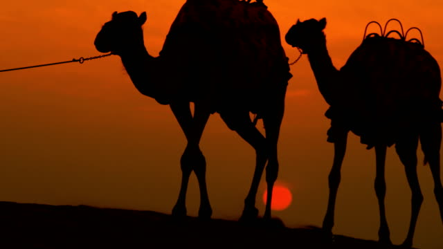 arabic male walking camels desert sunset silhouette dubai - camel stock videos & royalty-free footage