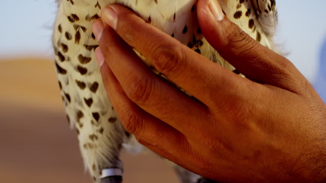 arabic man with bird of prey in desert - headdress stock videos & royalty-free footage