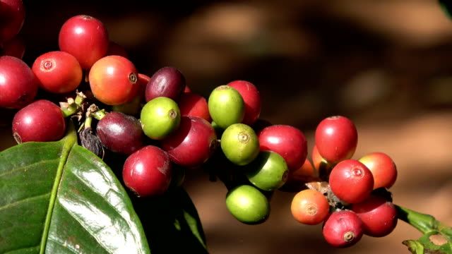 arabica coffee beans - branch stock videos & royalty-free footage