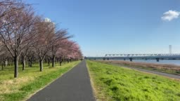 Arakawa River Cherry blossoms in Japan Tokyo