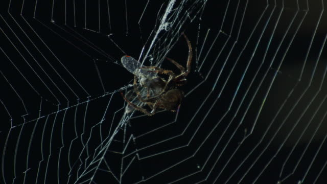 araneidae spider catching a dragonfly / dmz (demilitarized zone between south and north korea), goseong-gun - gefangen stock-videos und b-roll-filmmaterial