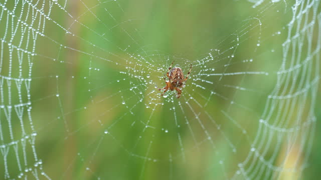 vídeos y material grabado en eventos de stock de araneus diadematus - called european garden spider, cross spider, crowned orb weaver. insect sits in middle of web and waits for victim - rocío