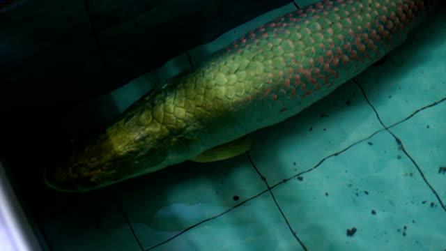 vídeos de stock e filmes b-roll de arapaima and mekong giant catfish swim to show big body size - gigante personagem fictícia