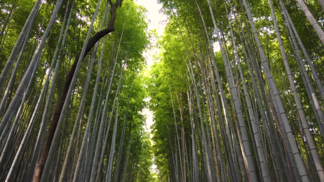 stockvideo's en b-roll-footage met arashiyama bamboo forest in kyoto, japan - bamboo plant