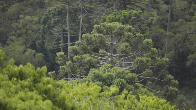 araucarias - coniferous stock videos & royalty-free footage