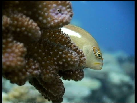 vidéos et rushes de cu arc-eye hawkfish, resting on coral, side view, layang layang, malaysia - organisme aquatique