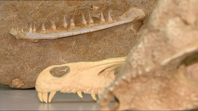 New species of dinosaur discovered in museum ENGLAND Bath INT Various shots of fossilised dinosaur skulls and bones / laboratory worker using...