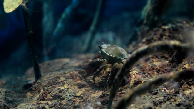 archer fish or toxotes chatareus in mangroves, 4k. - crab stock videos & royalty-free footage