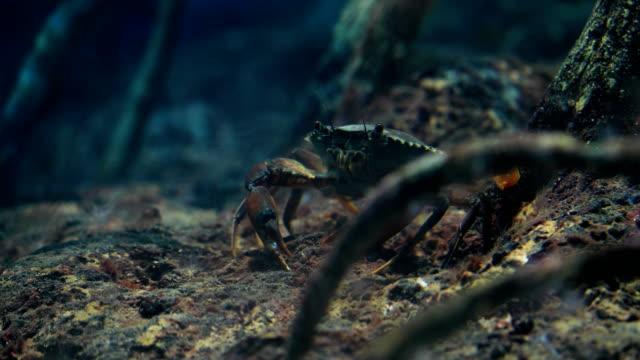 vídeos de stock e filmes b-roll de archer fish or toxotes chatareus in mangroves, 4k. - golfinho