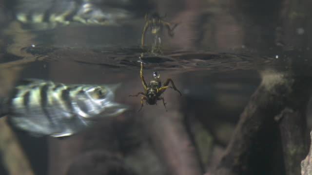 Archerfish (Toxotes chatareus) grabs cricket prey