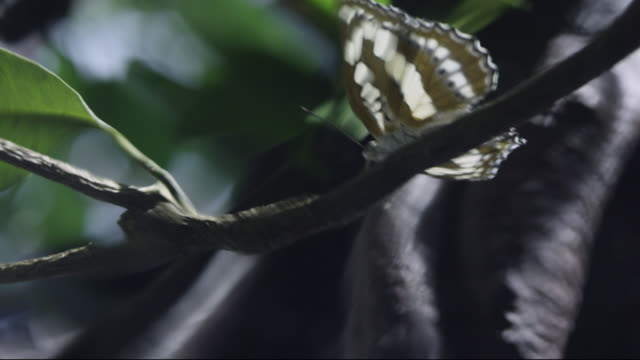 POV Archerfish (Toxotes chatareus) hunts butterfly on branch in forest