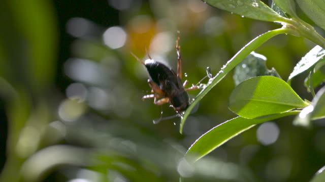 Archerfish (Toxotes chatareus) knocks cricket prey from tree