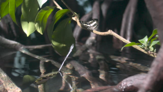 Archerfish (Toxotes chatareus) spits water at butterfly prey
