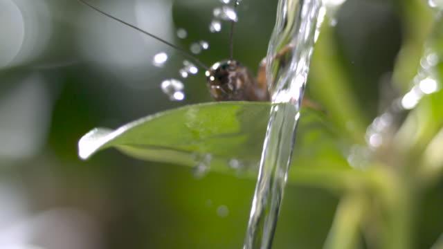 Archerfish (Toxotes chatareus) spits water at cricket prey