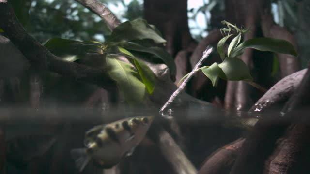 Archerfish (Toxotes chatareus) spits water at mantis prey