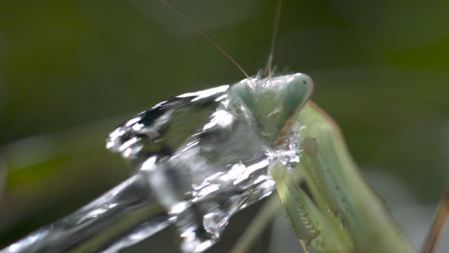 Archerfish (Toxotes chatareus) spits water at praying mantis prey