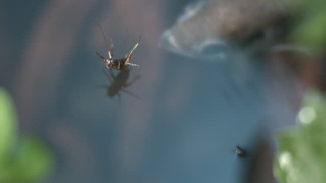 Archerfish (Toxotes chatareus) swallows cricket prey
