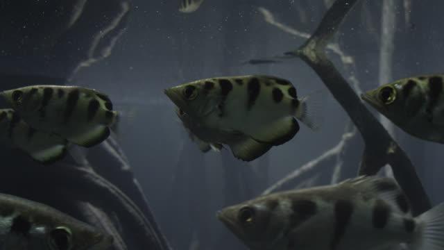 vidéos et rushes de archerfish (toxotes chatareus) swim in mangrove swamp - marécage