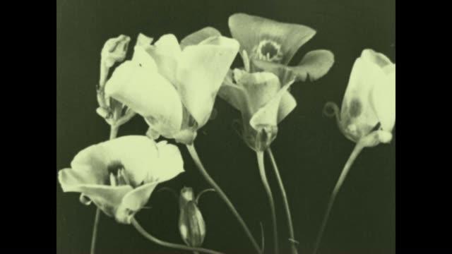 Archival film of Mariposa Tulip flowers