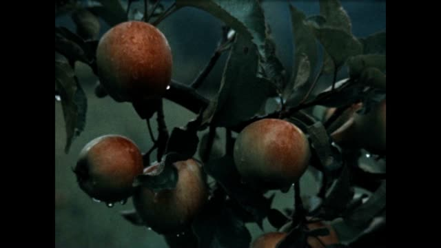 archival shots of washington apples. - drenched stock videos & royalty-free footage