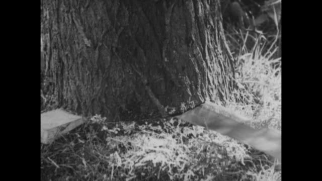 archive film footage circa 1939 of willow trees being felled split and taken to a timber yard to make cricket bats - クリケットバット点の映像素材/bロール