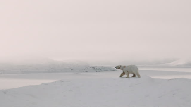 arctic bear - arctic stock videos & royalty-free footage