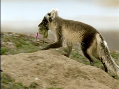 Arctic fox carries dead snow goose gosling into den, Banks Island, Canada