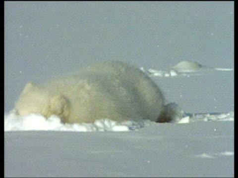 Arctic fox cleans blood from face by rubbing head in snow, Svalbard