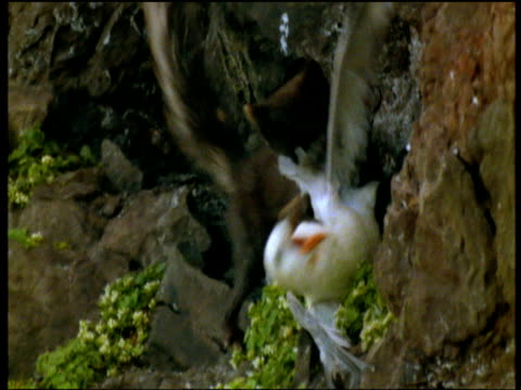 Arctic fox climbs up cliff edge and hunts, catches and kills Fulmar bird by biting its neck, Iceland