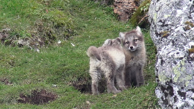 arctic fox cubs and adult - burrow stock videos & royalty-free footage