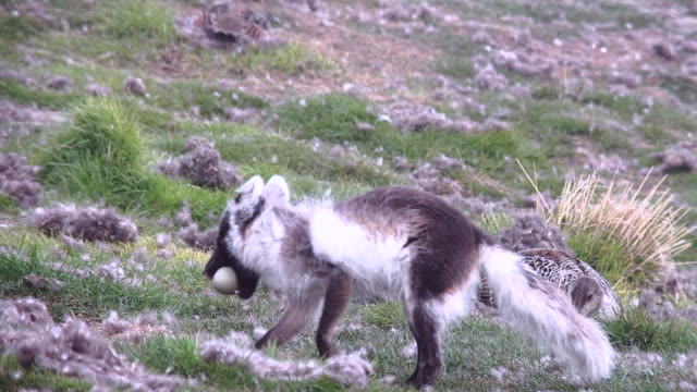 arctic fox cubs and adult - svalbard islands stock videos & royalty-free footage