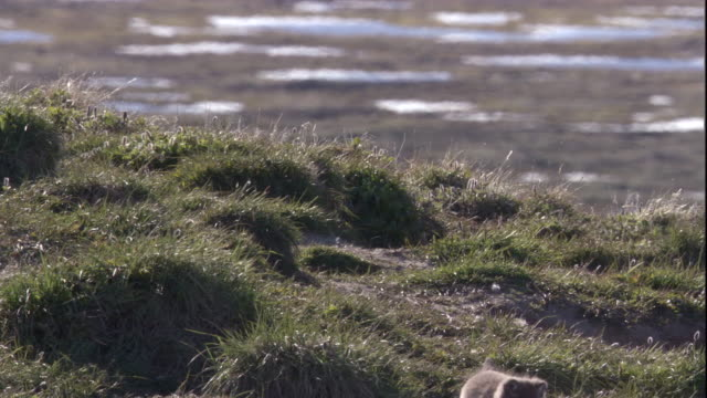 arctic fox cubs leap across a grassy tundra in the canadian arctic. available in hd. - hd format stock videos & royalty-free footage