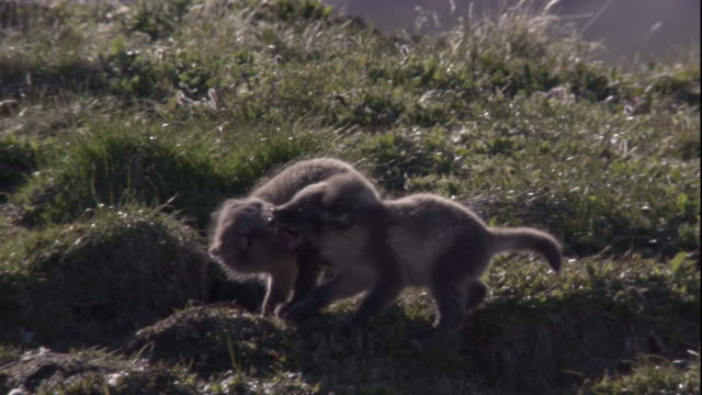 Arctic fox cubs play on a grassy hill. Available in HD.
