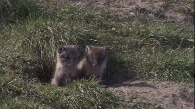 stockvideo's en b-roll-footage met arctic fox cubs poke their heads outside their den in arctic canada. available in hd. - canada