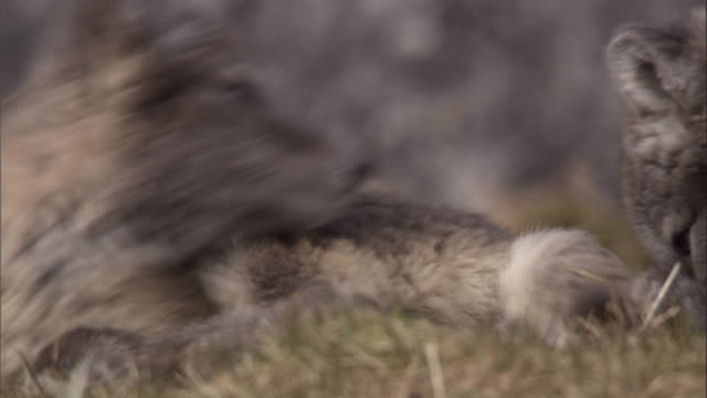 arctic fox cubs roll and playfight on mossy rocks near their den in svalbard, norway. - スヴァールバル諸島およびヤンマイエン島点の映像素材/bロール