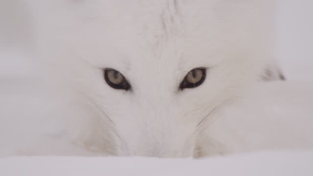 vídeos de stock e filmes b-roll de arctic fox eats snow on tundra, canada - olho de animal
