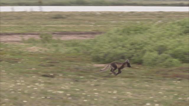 arctic fox, (vulpes lagopus) family in summer, churchill, manitoba, canada - burrow stock videos & royalty-free footage